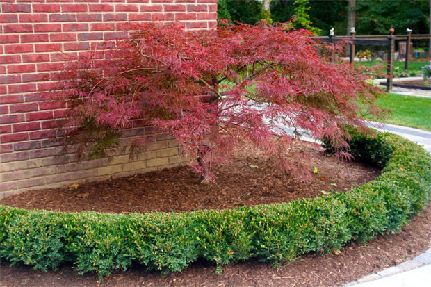 Courtyard Stone & Landscape Planting Japanese Maple Trees